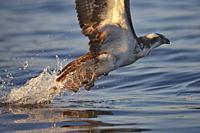 Osprey fishing, Lake Malaren, Sodermanland, Sweden