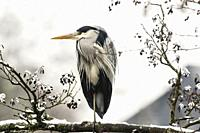 Germany, Saarland, Homburg - A grey heron is searching for fodder in Beeder Bruch.