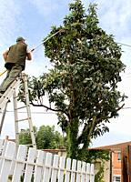 Pruning of a fruit tree, eriobotrya japonica, with a pruner´s tool for cutting branches touching electric pole. Security work and care