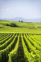 Vineyards near Eguisheim, Alsace (department of Haut-Rhin, region of Grand Est, France).