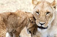 African Lion (Panthera leo) cub greeting female, Masai Mara National Reserve, Kenya, Africa.