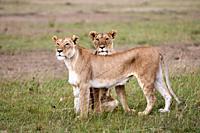 African Lion (Panthera leo) two females ) Masai Mara National Reserve, Kenya, Africa.
