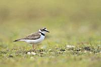 Little Ringed Plover ( Charadrius dubius ), adult wader bird, in its typical secondary habitat, a beautiful gravelled area, wildlife, Europe.
