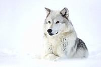 Gray Wolf ( Canis lupus) in winter, lying, resting in snow, watching attentively, Yellowstone area, Montana, USA.