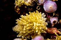 Sponge (Leucosolenia complicata). Eastern Atlantic. Galicia. Spain. Europe.