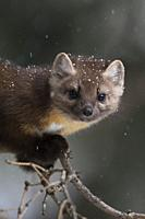 Pine Marten (Martes americana) in winter, close-up of a cute young animal climbing in a tree, Yellowstone NP, USA. .