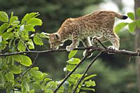 Young Eurasian Lynx (Lynx lynx) balances skillful on a thin branch.