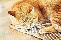 Red Tabby Cat Curled Up Sleeping In His Bed On Laminate Floor.