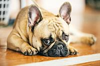Sad Dog French Bulldog sitting on floor indoor. The French Bulldog is a small breed of domestic dog.