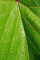 Leaf texture in sunshine.