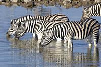 Herd of Burchell's zebras (Equus quagga burchellii), standing in water, drinking, Okaukuejo waterhole, Etosha National Park, Namibia, Africa.