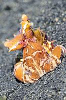 Wonderpus octopus, Wunderpus photogenicus, Lembeh Strait, North Sulawesi, Indonesia, Pacific.