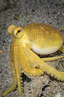 Poison ocellate octopus, Amphioctopus mototi, Anilao, Batangas, Philippines, Pacific.