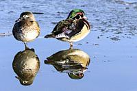 Wood duck, Aix sponsa, Burnaby Lake Regional Park, Burnaby, British Columbia, Canada.
