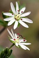 Star Chickweed (Stellaria pubera) - Coontree Trail - Pisgah National Forest, Brevard, North Carolina, USA.