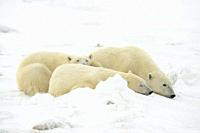 Polar Bear (Ursus maritimus) Mother and yearling cubs resting along the Hudson Bay coast, Wapusk NP, Cape Churchill, Manitoba, Canada.