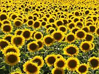 Sunflower field. la Rioja. Spain.