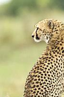 Cheetah. Acinonyx jubatus. Kenia. Africa.