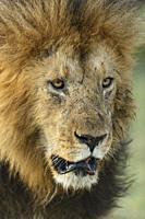 Lion. Panthera Leo. Kenia. Africa.