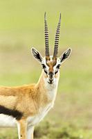 Thomson´s gazelle portrait. Eudorcas thomsonii. Kenia. Africa.