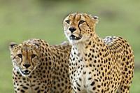 Family of Cheetahs. brothers. Acinonyx jubatus. Kenia. Africa.
