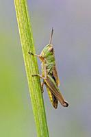 Meadow Grasshopper ( Chorthippus parallelus ) resting on a grass stem, detailed close-up, clean background, wildlife, Europe.
