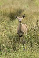 Male Red deer. Cervus elaphus. Alava. Spain.