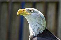 Portrait of a Bald Eagle (Haliaeetus Leucocphalus) at Warwick Castle, Warwickshire, England.