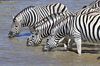 Herd of Burchell's zebras (Equus quagga burchellii) standing in water, drinking, Okaukuejo waterhole, Etosha National Park, Namibia, Africa.