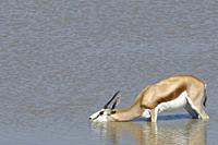 Springbok (Antidorcas marsupialis), adult female, standing in water, drinking, Okaukuejo waterhole, Etosha National Park, Namibia, Africa.