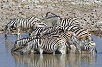 Herd of Burchell's zebras (Equus quagga burchellii) with two zebra foals, standing in water, drinking, Okaukuejo waterhole, Etosha National Park, Nami...