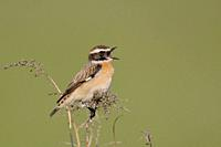 Whinchat ( Saxicola rubetra ) perched on dry twigs in front of clean green background, singing its courtship song, wildlife, Europe.
