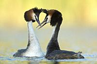 Great Crested Grebes (Podiceps cristatus) in love, courting, shaking heads, close, detailed, brilliant colors, wildlife, Germany, Europe.