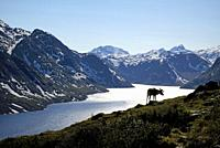 Norway, Oppland, Vaga, Jotunheimen National Park, Besseggen Ridge, reindeer in fromt of the Lake Gjende.
