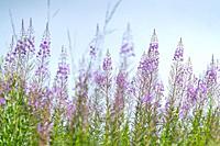 Mountain Flowers, Néouvielle Nature Reserve, Vallée d'Aure, L'Occitanie, Hautes-Pyrénées, France, Europe.