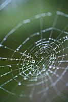 Spider web, spider, Néouvielle Nature Reserve, Vallée d'Aure, L'Occitanie, Hautes-Pyrénées, France, Europe.