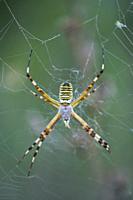 WASP SPIDER (Argiope bruennichi), Néouvielle Nature Reserve, Vallée d´Aure, L´Occitanie, Hautes-Pyrénées, France, Europe.