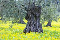 Olive (Olea europaea), Sierra de las Nieves National Park, Málaga, Andalusia, Spain, Europe.