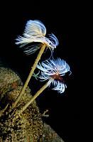 Wreathy-Tuft Tube Worm, Fan Worm (Spirographis spallanzanii). Eastern Atlantic. Galicia. Spain. Europe.