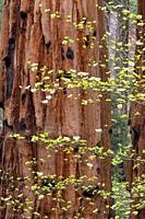 Giant Sequoia and Dogwood Blossoms, Sequoia National Park, California, USA.