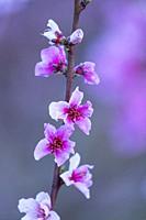 Flowering, Peach tree (Prunus persica), Fruiturisme, Tourism Experience, Aitona village, Segre river, Baix Segre, Lleida, Catalonia, Spain, Europe.