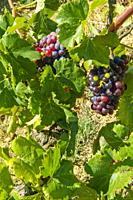 Vineyards. Bodega Mas D´En Gil. Comarca del Priorat, Tarragona Province, Catalonia, Spain.
