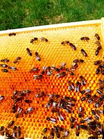 Honeybees on a comb which contains colourful pollen stores.