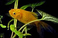 Goldfish (Carassius auratus). Tea river. Galicia. Spain. Europe.