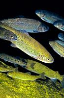 Freshwater Rivers. Rainbow trout (Oncorhynchus mykiss). San Isidro river. Cabaña Quinta. Asturias. Spain. Europe.