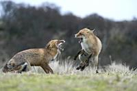 Red Foxes (Vulpes vulpes) in aggressive fight, fighting, threatening with wide open jaws, attacking each other, during rut, wildlife, Germany, Europe.