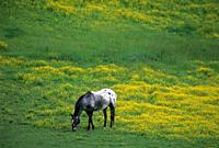 Grazing horse, Broadbent, Rogue-Coquille National Scenic Byway, Oregon.