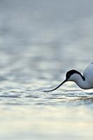 Pied Avocet ( Recurvirostra avosetta ), in shallow waters, head shot, searching for food, wadden sea, wildlife, Europe.