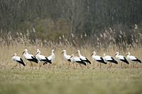 White Storks (Ciconia ciconia), flock gathering in beautiful natural surrounding, Germany, Europe.