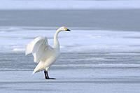Bewick´s Swan ( Cygnus columbianus bewickii ), one adult, wings up, on a frozen lake in winter, rare winter guest, wildlife, Europe. .